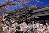 京都勝持寺 サクラと高遠閣