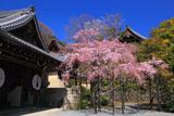 京都光明寺 本玄関前の紅枝垂れ桜