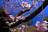 京都光明寺のベニシダレザクラ