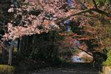 京都光明寺 女人坂の山桜