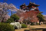 伏見桃山城 雪柳と桜に天守
