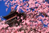 伏見桃山城 紅枝垂桜越しの天守閣