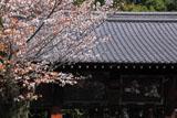 御香宮神社 ヤマザクラと絵馬堂