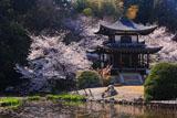 勧修寺 氷室池と桜咲く観音堂