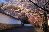 勧修寺 桜並木と築地塀
