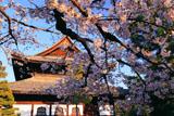 建仁寺 桜越しの法堂
