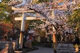 安井金比羅宮 桜と鳥居