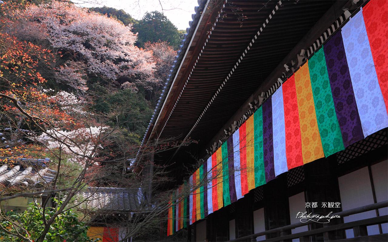 永観堂 御影堂とヤマザクラ 壁紙