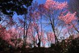 熊野若王子神社 桜花苑の陽光桜