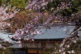 熊野若王子神社 シデコブシ