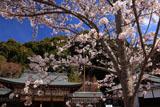 熊野若王子神社 桜と拝殿