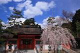 吉田神社の幽斎桜