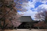 真如堂の桜と本堂