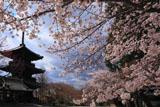 真如堂の桜と三重塔