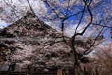 真如堂のたてかわ桜