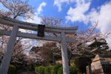 宗忠神社 参道の桜