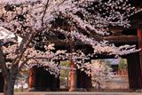 金戒光明寺 桜と三門越しの御影堂