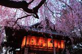 水火天満宮 宵のしだれ桜と拝殿