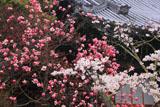 山崎聖天 シモクレンと本堂