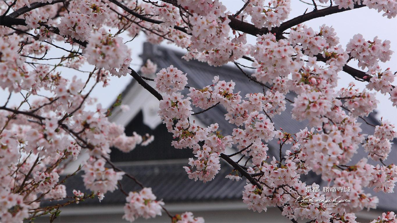 勝竜寺城公園 桜 壁紙