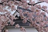 勝竜寺城公園の桜
