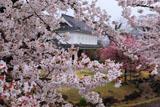 勝竜寺城公園 桜越しの管理棟