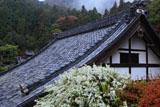 楊谷寺の雪柳と阿弥陀堂