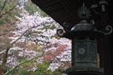 楊谷寺奥の院の山桜
