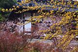楊谷寺の山茱萸と桜