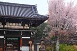 梅宮大社 楼門の酒樽と山桜