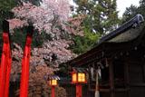 梅宮大社 神饌所とヤマザクラ