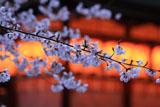 今宮神社 ソメイヨシノ
