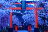 平野神社 ソメイヨシノと大鳥居