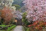 浄瑠璃寺 参道の桜と白木蓮