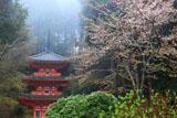岩船寺の山桜と三重塔