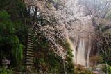 笠置寺 山桜と弥勒磨崖仏