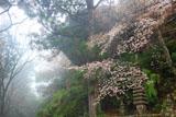 笠置寺 ヤマザクラと十三重塔