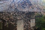 笠置寺 山桜越しの正月堂