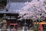 桜と海住山寺本堂