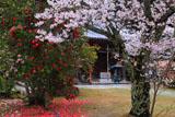海住山寺のサクラとツバキ