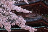 海住山寺の桜と五重塔