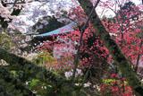 海住山寺の染井吉野と寒緋桜