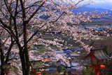 海住山寺参道の桜
