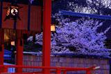 伏見稲荷大社 吊灯籠と桜