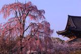 東寺の不二桜と金堂