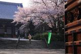 大谷本廟 総門から桜と仏殿