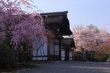 妙法院 紅枝垂桜と玄関