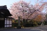 妙法院 小玄関と桜