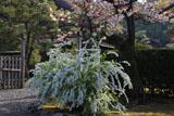 妙法院 雪柳と山桜越しの宸殿