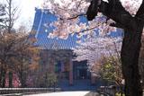 智積院 桜と金堂